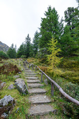 stone pines and larch trees at mountain scheibelalm, styria, austria