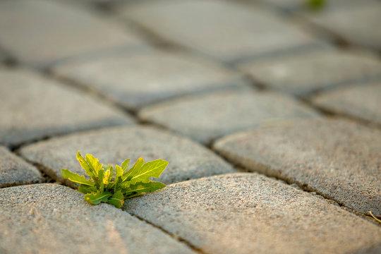 Weed plants growing between concrete pavement bricks.