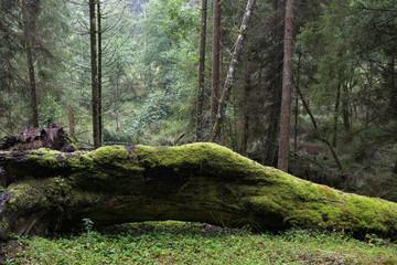 Bemoostes totholz im romantischem 900 Quadratkilometer großen Nationalpark Bayrischer Wald mit seinen Urwäldern, dem größten Waldschutzgebiet Mitteleuropas und dem ersten Nationalpark Deutschlands