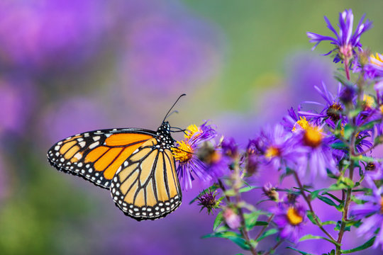 Monarch butterfly feeding on purple aster flower in summer floral background. Monarch butterflies in autumn blooming asters.