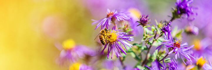 Photo sur Plexiglas Bee Honey bee pollinating purple aster flower in autumn fall garden nature background. Bees, flowers copy space panoramic banner.