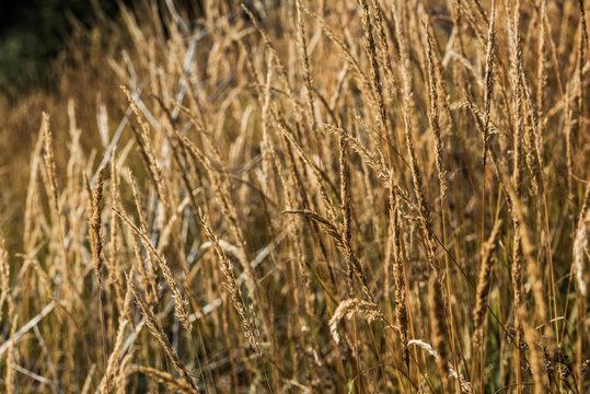 selective focus of yellow barley in golden meadow