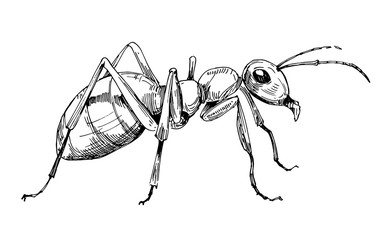 Ant sketch. Hand drawn illustration converted to vector