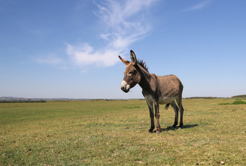 Funny curious donkey on the pasture