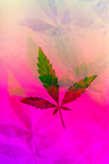 Young cannabis leaf photographed through prism