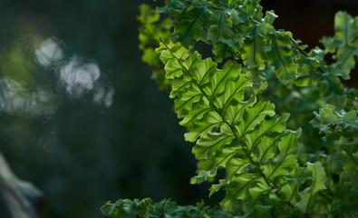 The fresh green of Boston fern leaves