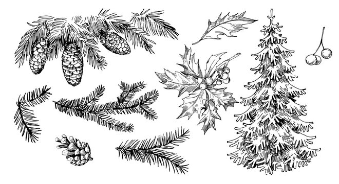 Winter plants: holly, cones, spruce. Hand drawn illustration converted to vector