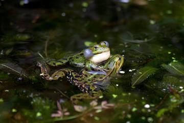 Printed roller blinds Frog Groene kikker man grijpt vrouwtje