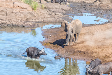 African elephant and cape buffaloes at a river