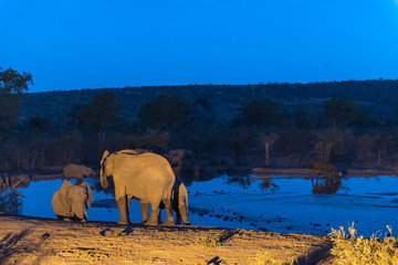 African elephant herd drinking water at an artificially lit waterhole