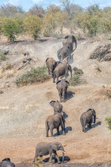 African elephants walking up the slope of a river wall