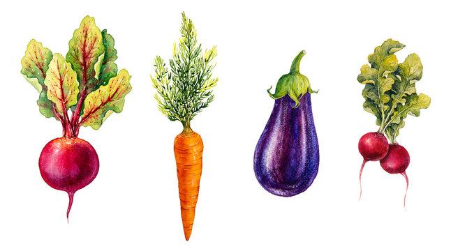 Vegetables. Watercolor illustration.