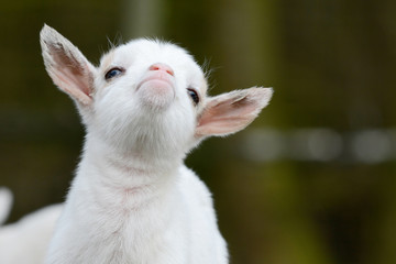 head from cute, small, white goat kid