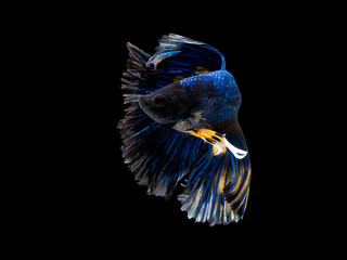Foto op Canvas Vissen Action and movement of Thai fighting fish on a black background