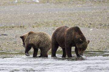 Weiblicher fischfressender Grizzlybär mit Jungem - Deutlich erkennbar ist der für Grizzlybären typische Nackenbuckel