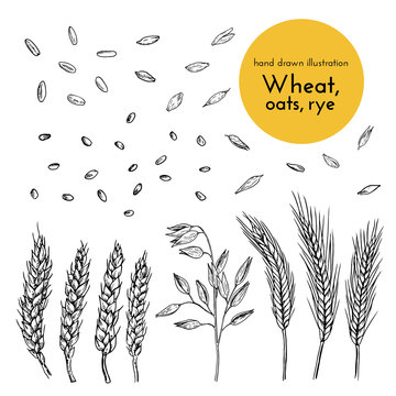 set of hand drawn illustrations of wheat, oats, rye. sketches for the design of cafes, restaurants, food packages. bread collection
