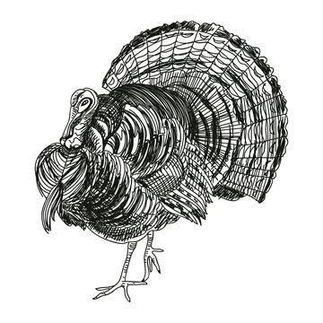 Turkey hand drawn vector illustration