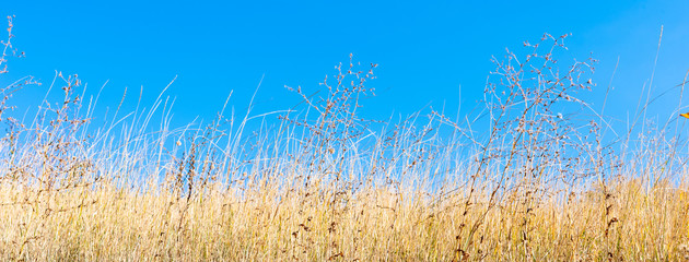 Fotobehang Gras Field of dry yellow grass close-up and blue sky in the background, copy space
