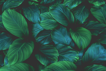 Poster Spring leaves of Spathiphyllum cannifolium, abstract green texture, nature background, tropical leaf