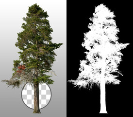 Pine tree. Evergreen tree isolated on transparent background. High quality clipping mask for professional composition.