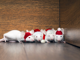 The white rats in new year's hats in the closet.