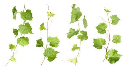 Set of fresh green grape leaves on white background Wall mural