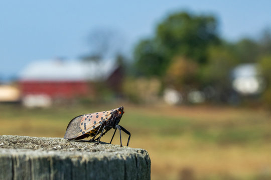 The Spotted Lantern Fly is rapidly taking over the Eastern Pennsylvania countryside.