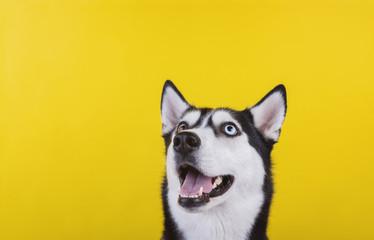 Funny bi-eyed husky dog wait dog treats on the yellow background. Smiling dog is wait for food.