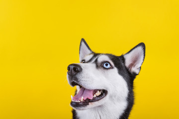 Happy bi-eyed husky dog smiling and wait dog treats in studio on the yellow background, concept of dog emotions