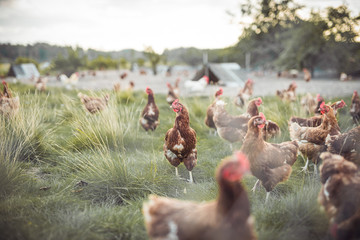 A huge flock of brown chickens roam freely in a lush green paddock
