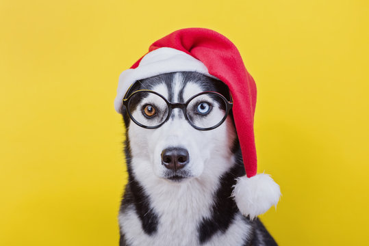 Funny husky dog with glasses and new year hat on a yellow studio background, the concept of dog emotions