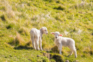 two playful newborn lambs standing on grassy meadow