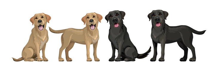 Gold yellow labrador retriever and black labrador retriever. Standing and sitting labradors isolated on white. Young and friendly dogs.