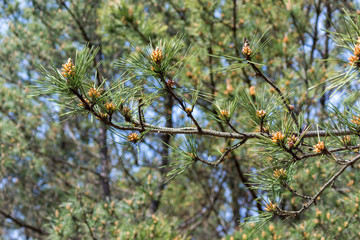 branch of a pine tree close up