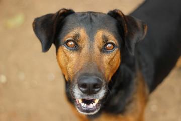 Cachorro de cor preto e caramelo olhando fixamente para a câmera