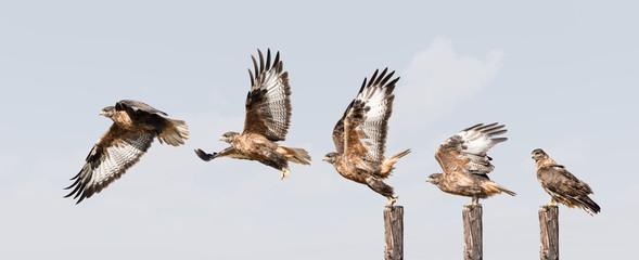 upland buzzard takeoff