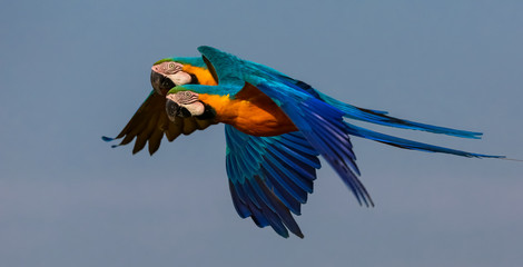 Two beautiful Blue-and-yellow macaw close together in flight to the left, against blue sky, San Jose do Rio Claro, Mato Grosso, Brazil