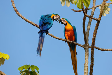 Two beautiful Blue-and-yellow macaws close together perching on a branch of a tree against blue sky, facing each other, head on head, Amazonia, San Jose do Rio Claro, Mato Grosso, Brazil