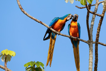 Two beautiful Blue-and-yellow macaws close together perching on a branch of a tree against blue sky, heads together, nibbling, Amazonia, San Jose do Rio Claro, Mato Grosso, Brazil