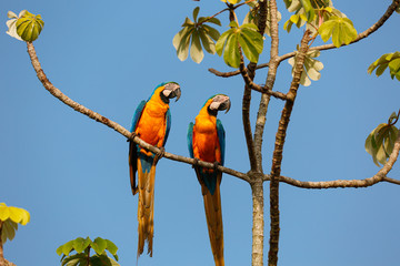 Two beautiful Blue-and-yellow macaws close together perching on a branch of a tree against blue sky, looking to the right, Amazonia, San Jose do Rio Claro, Mato Grosso, Brazil