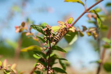 honey bee on flower of a garden hedge