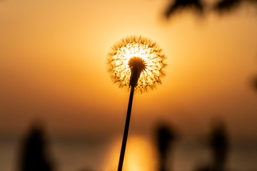 Foto op Canvas Paardenbloem Dandelion flying with the wind at sunset in spring time