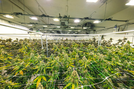 Weed Plants Growing Under Lights at Indoor Facility