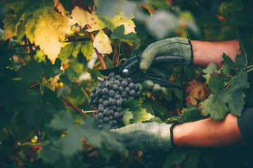 Grapes in hand, harvest in autumn. Wall mural
