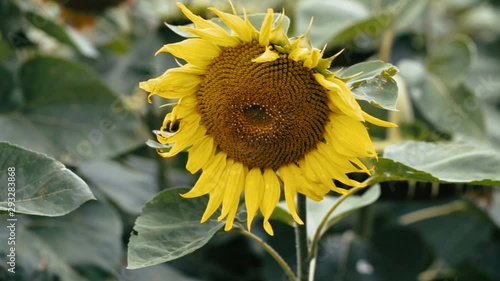 Fototapete Field of sunflowers in the wind on a bright cloudy summer day with sky on farm. Scenic landscape agricultural land. Beauty nature, agriculture.