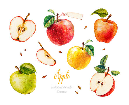 Apples. Watercolor botanical illustration.