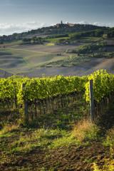 Vineyard in the sun of Tuscany.