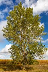 Porte de un chopo negro a principios del otoño con campo de maíces y cielo azul con nubes de fondo. Populus nigra.