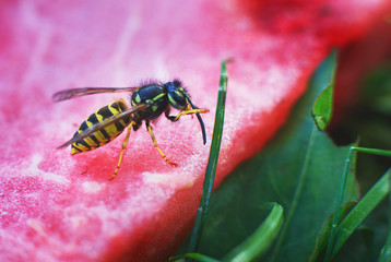wasp on a watermelon close up on a grass background.  A wasp macro.