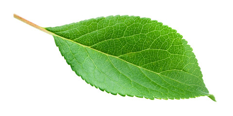 Green leaf isolated. Plum leaf on white background. With clipping path.